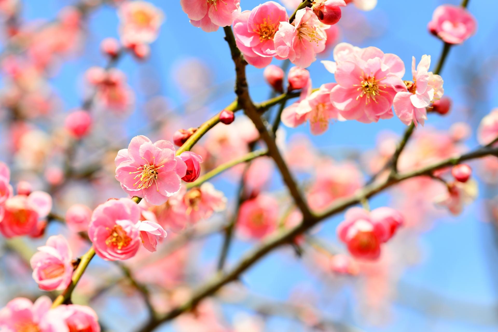 梅の花 3月